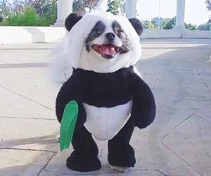 Pandaloon | Funny Dog Halloween Costumes