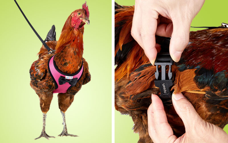 Best Chicken Harness and Leash Take Your Pet Bird Outside